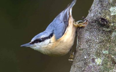Nuthatch Opportunities